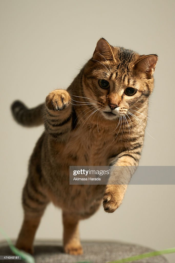 Cat to pounce : Stock Photo