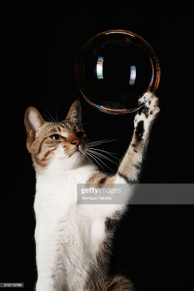 a domestic tabby cat touching a bubble.