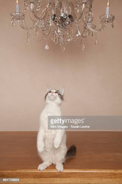 A cat under a chandelier,on its haunches looking upwards.