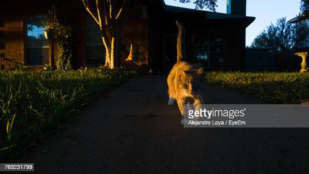 Cat Walking On Grass At Night