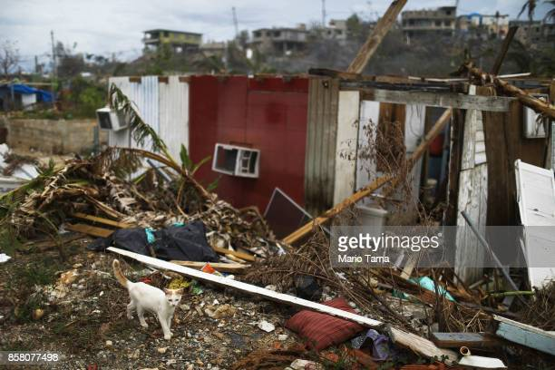 A cat walks next to a destroyed home about two weeks after Hurricane Maria swept through the island on October 5 2017 in San Isidro Puerto Rico...