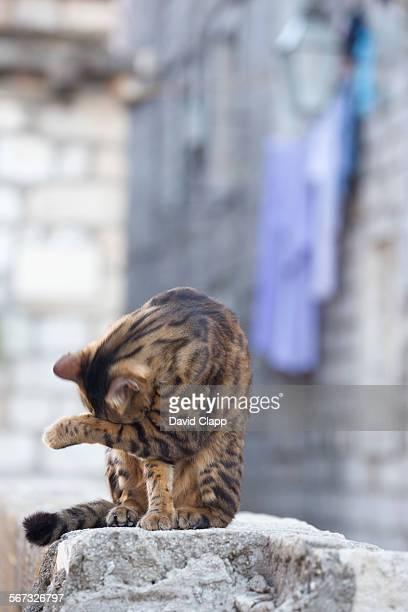 Cat washing in Dubrovnik, Croatia