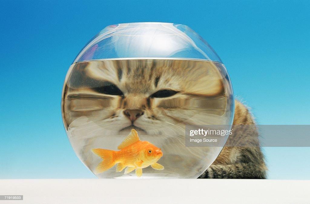 Cat watching a goldfish : Stock Photo