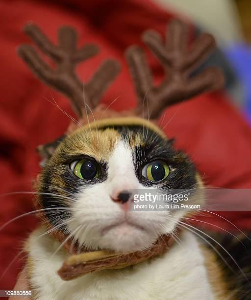 Cat wearing reindeer antlers