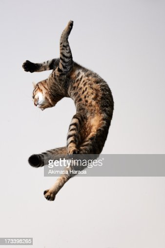 Cat which jump and twisted his body like dancing.