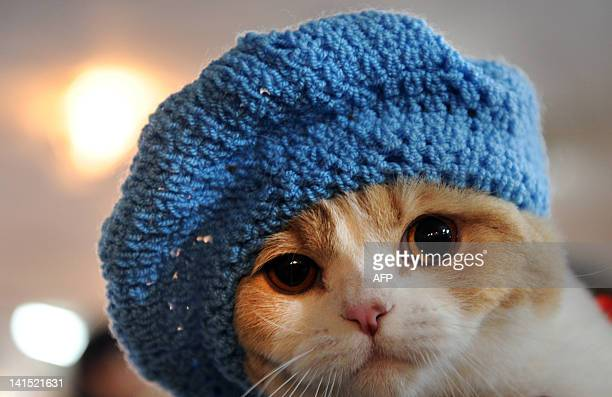 A cat with a knitted hat looks on during a cat's exhibition in Bishkek on March 18 2012 Cats owners from three countries Kyrgyzstan Kazakhstan and...
