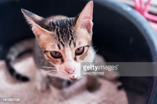 A cat with black stripes in a litter box : Stock Photo