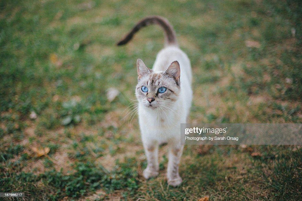 Cat with blue eyes on grass : Stock Photo