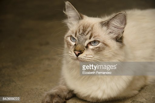 Cat with blue eyes : Stock Photo