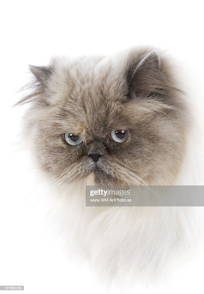 Cat with long hair : Stock Photo