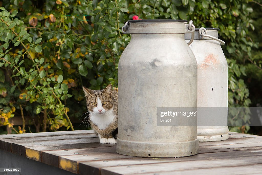 cat with milk cans : Stock Photo