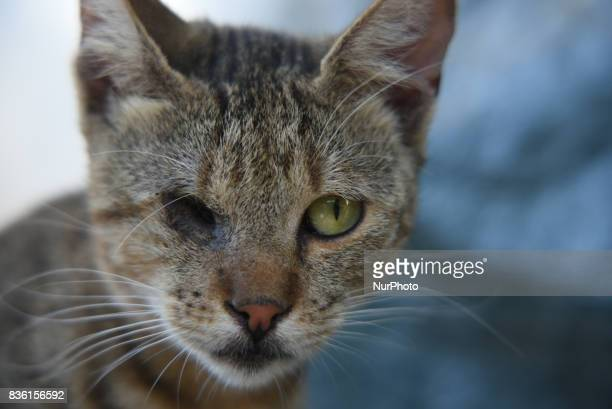 Cat with one eye lost in Artaki on Euboea on August 19 2017