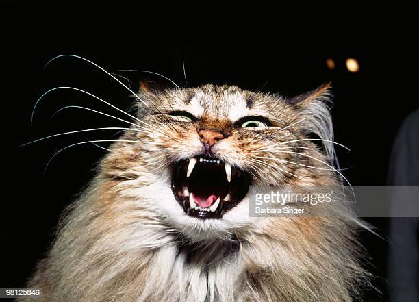 Cat with open mouth hissing