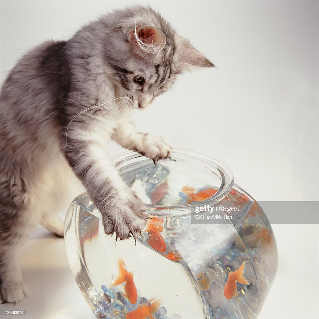 Cat with paws on goldfish bowl : Stock Photo