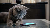 Grey Scottish Fold cat looking curiously at a smart phone screen