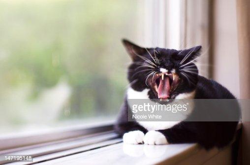 Cat yawning : Stock Photo