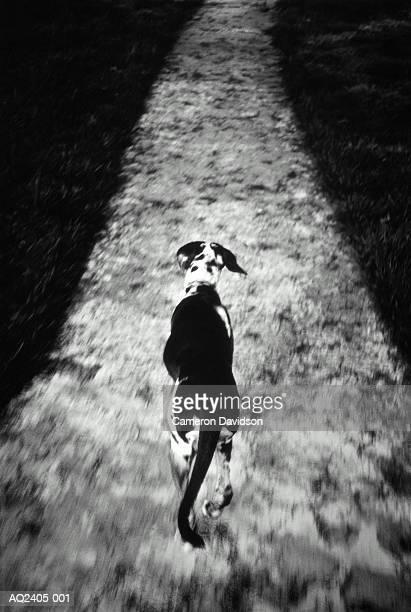 Catahoula leopard dog, running down path through grass, rear view (B&W