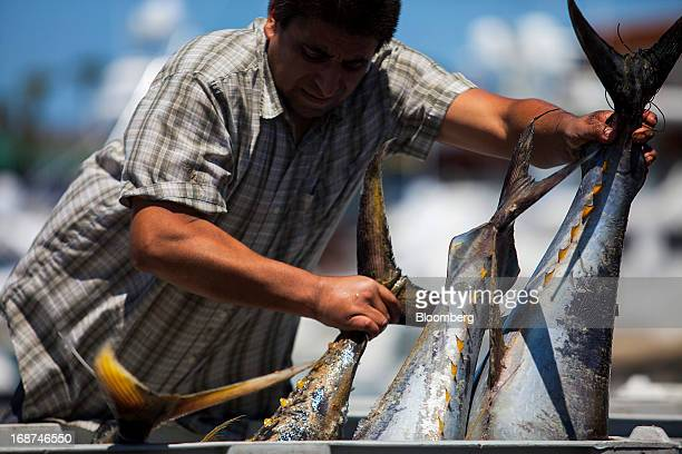 A Catalina Offshore Products employee receives a bin of yellowfin tuna from McAdam's Fish LLC in San Diego California US on Monday May 13 2013...