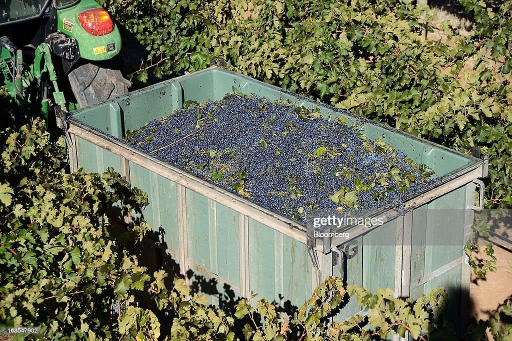A catch bin filled with freshly harvested Cabernet Sauvignon grapes moves between rows of vines at Treasury Wine Estates Ltd.'s Wolf Blass vineyards in the Barossa Valley, Australia, on Monday, March 4, 2013. Treasury, Australia's largest winemaker, is counting on luxury and high-end products to boost earnings as the strength of the Australian dollar makes lower-priced export labels unprofitable and domestic liquor chains push for cheaper products under their own labels. Photographer: Carla Gottgens/Bloomberg via Getty Images
