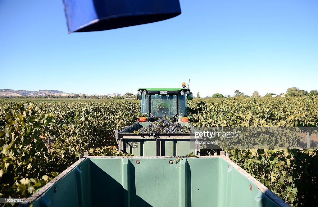 A catch bin receives freshly harvested Cabernet Sauvignon grapes as it moves alongside a harvester machine at Treasury Wine Estates Ltd.'s Wolf Blass vineyards in the Barossa Valley, Australia, on Monday, March 4, 2013. Treasury, Australia's largest winemaker, is counting on luxury and high-end products to boost earnings as the strength of the Australian dollar makes lower-priced export labels unprofitable and domestic liquor chains push for cheaper products under their own labels. Photographer: Carla Gottgens/Bloomberg via Getty Images