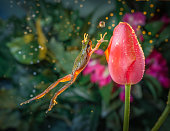 Frog jumps toward a tulip in time as if to catch the water ball