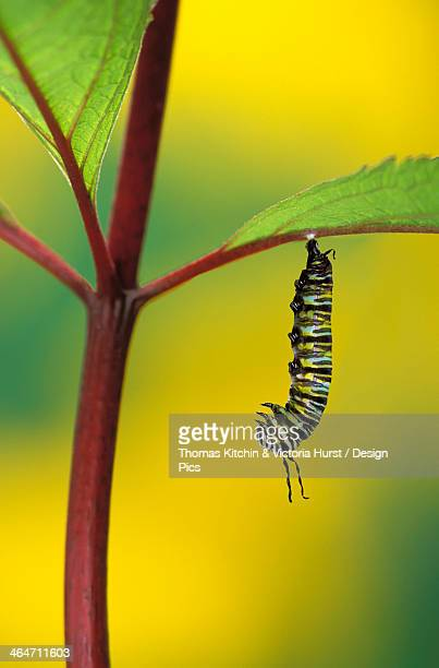 Caterpillar Hanging From A Plant Stem