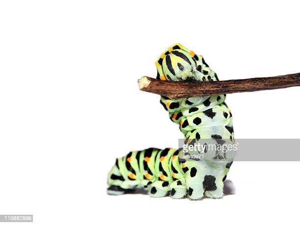 Caterpillar, isoliert auf weißem Hintergrund (true) 1