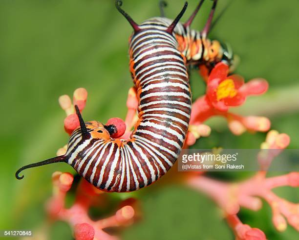 A caterpillar(white strip on brown) of butterfly o