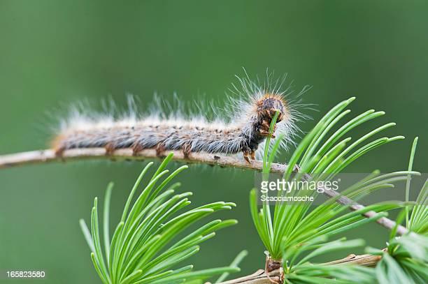Caterpillar of Pine Processionary