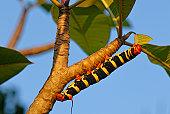Caterpillar of the Tetrio sphinx moth (Pseudosphinx tetrio) on a Frangipani (Plumeria), St. Croix island, U.S. Virgin Islands, United States