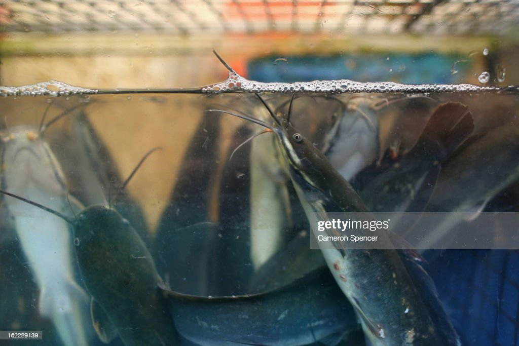 Catfish are displayed for sale at the Singapore Chinatown Complex Wet Market on February 21, 2013 in Singapore. The Chinatown Complex Wet Market is a traditional Asian food market popular with elder Singaporeans that features fresh seafood, meat, vegetables, Chinese groceries and a variety of exotic delicacies. The bustling complex floors are never dry with melting ice and water used to clean the floors, fish and vegetables spilling through the space, thus earning the name 'Wet Market'. The markets have retained their relevance by guaranteeing freshness and a personal service between stall mongers and loyal customers.