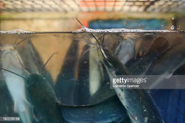Catfish are displayed for sale at the Singapore Chinatown Complex Wet Market on February 21 2013 in Singapore The Chinatown Complex Wet Market is a...