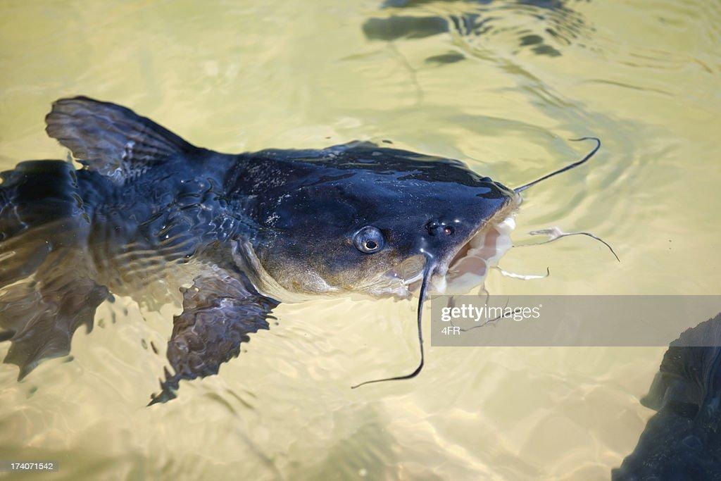 Catfish at Lake Wabby, Fraser Island, Australia (XXXL) : Stock Photo