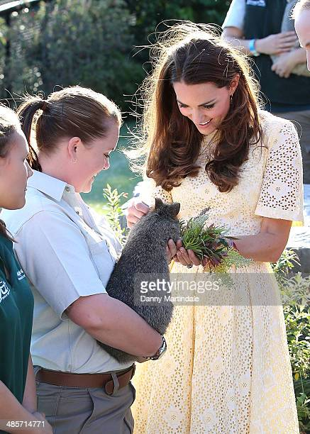Catherine Duchess of Cambridge meets a Quokka at Taronga Zoo on April 20 2014 in Sydney Australia The Duke and Duchess of Cambridge are on a...