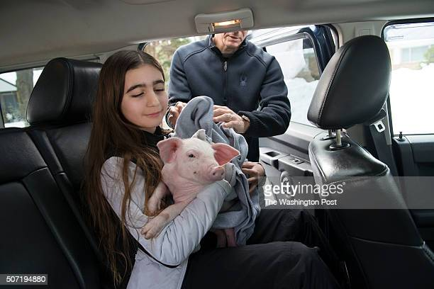 Catherine Smith and her father Perry Smith load a rescued piglet in the car in Chevy Chase MD on January 27 2016 Perry Smith and his family were...