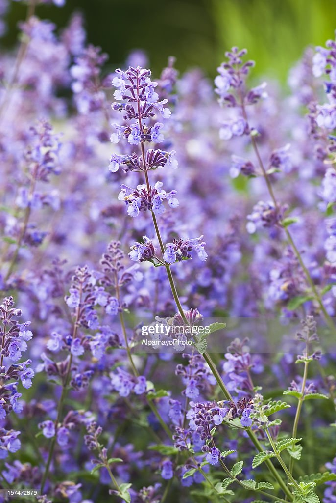 catmint catnip nepeta racemosa walkers low iv stock photo. Black Bedroom Furniture Sets. Home Design Ideas