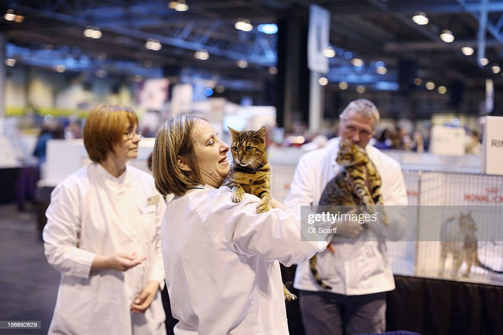Cats are judged at the Governing Council of the Cat Fancy's 'Supreme Championship Cat Show' held in the NEC on November 24, 2012 in Birmingham, England. The one-day Supreme Cat Show is one of the largest cat fancy competitions in Europe with over one thousand cats being exhibited. Exhibitors aim to have their cat named as the show's 'Supreme Exhibit' from the winners of the individual categories of: Persian, Semi-Longhair, British, Foreign, Burmese, Oriental, Siamese.