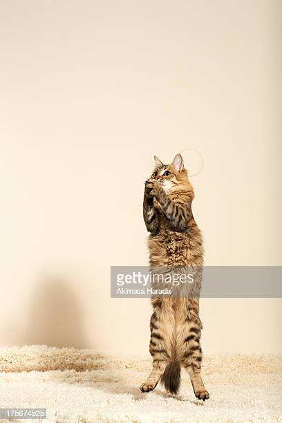 Cats are jumping in a position like praying