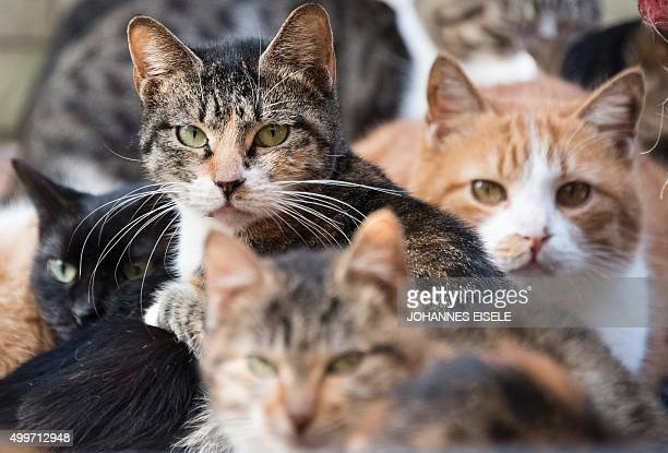 Cats gather in their enclosure at a Buddhist temple in the suburbs of Shanghai on December 3 2015 A monk named Zhi Xiang has given shelter to some...