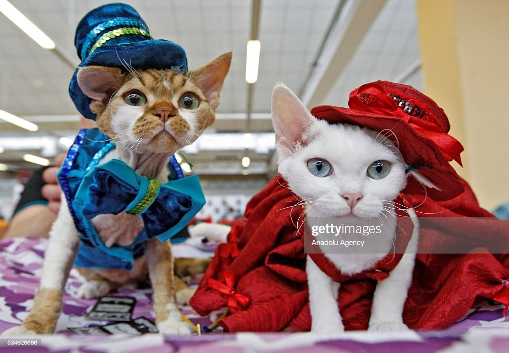 Cats in costumes is seen during a costume contest organized within the Cat Show 'Royal Feline' in Kiev, Ukraine May 28, 2016. The exhibition presents rare breed cats like dwarf tiger 'Toyger', the tiniest cat in the world, Singapore's cat, Somali's cat and many others.