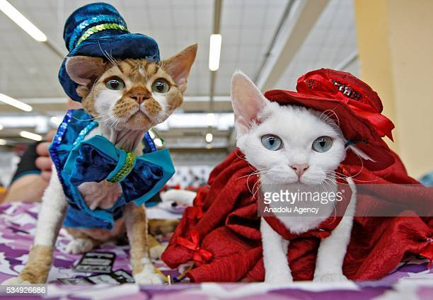 Cats in costumes is seen during a costume contest organized within the Cat Show 'Royal Feline' in Kiev Ukraine May 28 2016 The exhibition presents...