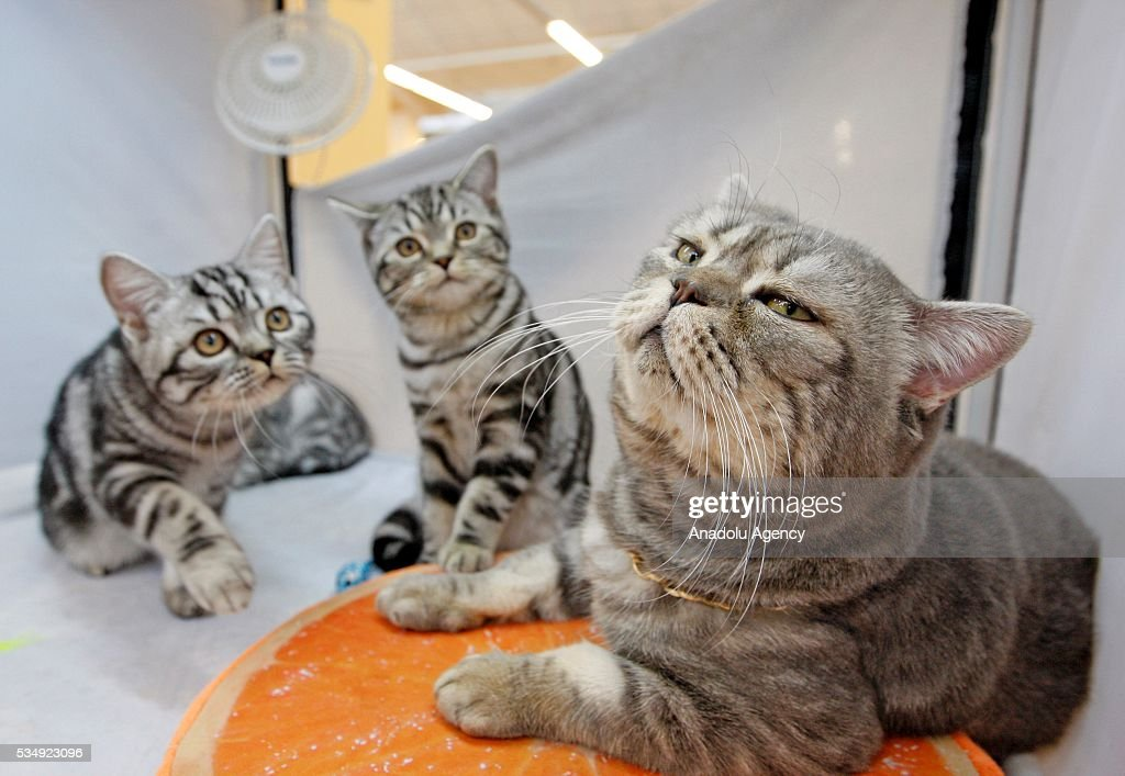 Cats is seen during the Cat Show 'Royal Feline' in Kiev, Ukraine May 28, 2016. The exhibition presents rare breed cats like dwarf tiger 'Toyger', the tiniest cat in the world, Singapore's cat, Somali's cat and many others.