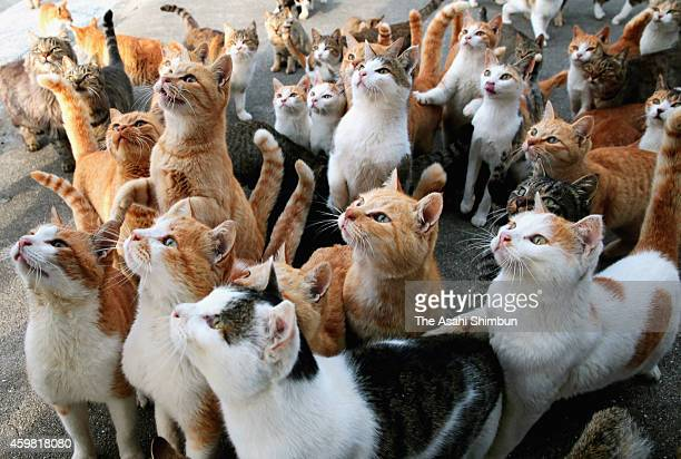 Cats wait to be fed by tourists at Aoshima or Ao Island on November 20 2014 in Ozu Ehime Japan More than 100 cats live while only 15 people reside in...