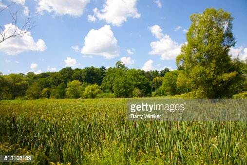Cattails amid green leaves in Jamaica Plain