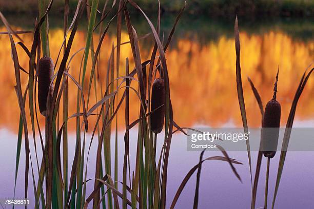 Cattails at water's edge at sunset or sunrise