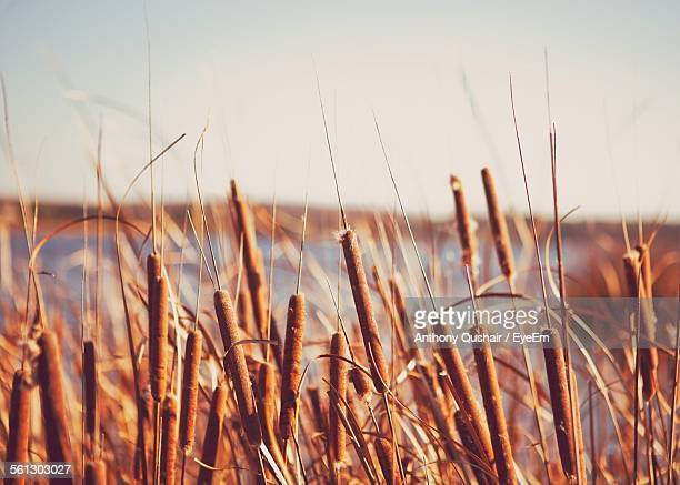 Cattails Growing On Field Against Clear Sky