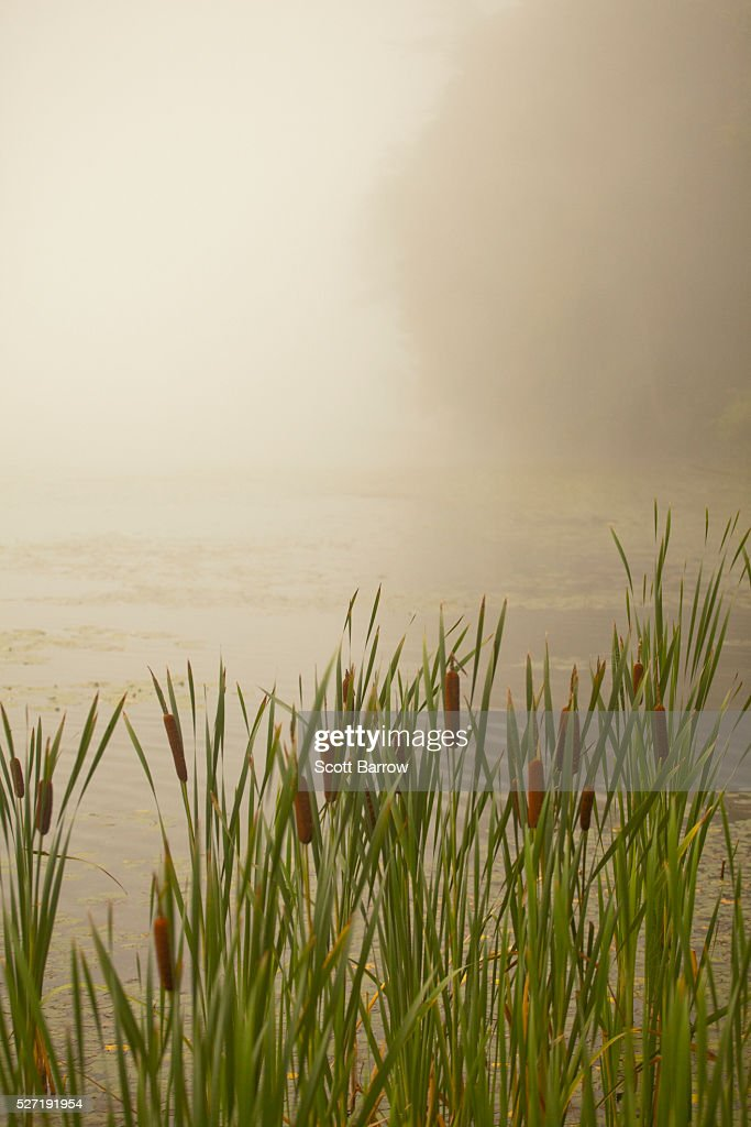Cattails on a foggy lake shore : Stock Photo