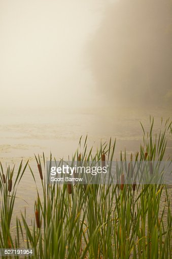 Cattails on a foggy lake shore : Photo