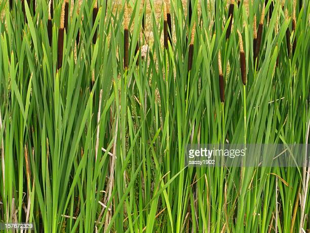 Cattails Reeds Typha Plant