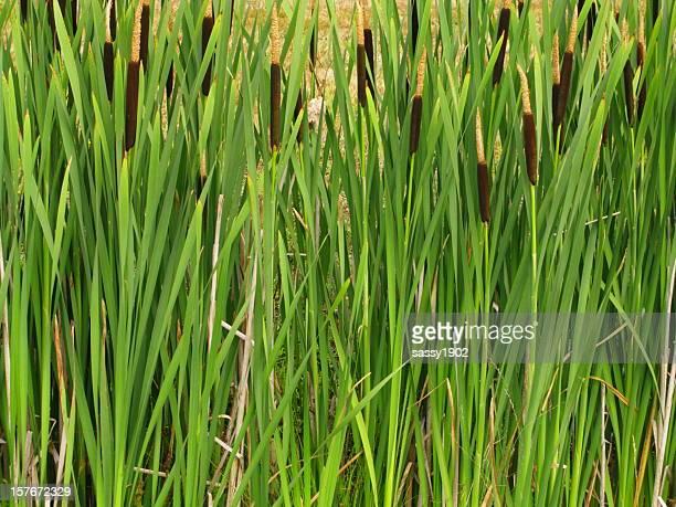 Rohrkolben schilf Typha Pflanze
